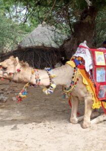 Camel Caravan (3)