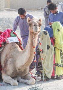 Camel Caravan (6)