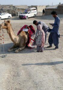 Camel Caravan (7)